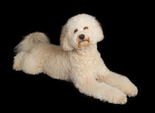 Labradoodle Dog Laying Down on Black Royalty Free Stock Images