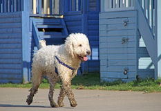 Labradoodle dog Stock Images