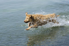 Running Labradoodle Dog Royalty Free Stock Images