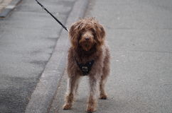 A Labradoodle dog sees something Stock Photo