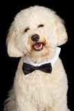 Labradoodle Dog Wearing Bow Tie Royalty Free Stock Photo