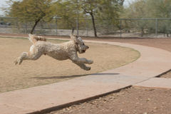 Labradoodle Stock Photography