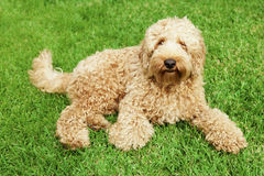 Labradoodle in grass. Cute golden labradoodle laying in lush grass Stock Photo