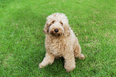 Labradoodle in grass. Golden labradoodle sitting in lush grass Royalty Free Stock Photos