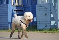 Labradoodle hund Arkivbilder