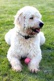 Labradoodle Hund, der auf Gras legt Lizenzfreies Stockbild