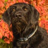 Labradoodle hundstående Royaltyfri Bild