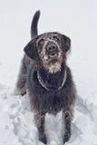 Labradoodle i snön Royaltyfri Fotografi