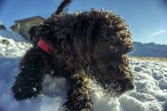 Labradoodle im Schnee Stockfotos