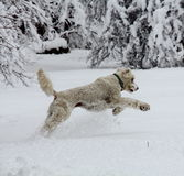 Labradoodle Jumping in snow. Royalty Free Stock Photography