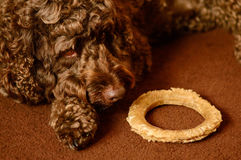 Labradoodle with dog chew Stock Photography