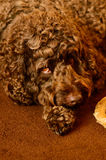 Labradoodle with dog chew Royalty Free Stock Photos