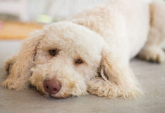 The Labradoodle Royalty Free Stock Image