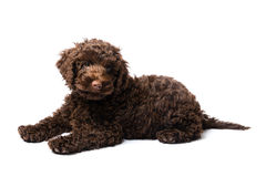 Labradoodle Mini Puppy Photo libre de droits