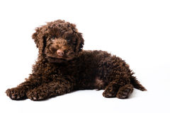 Labradoodle Mini Puppy Stock Photography