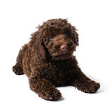 Labradoodle Mini Puppy Stock Photo