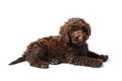 Labradoodle Mini Puppy Stock Images