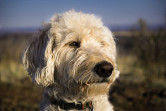 Labradoodle Muzzle Facing the Sunset Royalty Free Stock Images