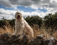 Labradoodle Stock Images