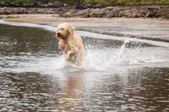 Labradoodle royalty free stock images