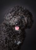 Labradoodle photographed in the studio.  Royalty Free Stock Photography