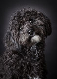 Labradoodle photographed in the studio.  Stock Images