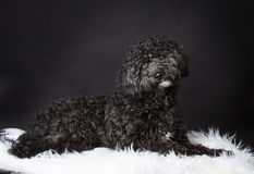 Labradoodle photographed in the studio.  Stock Image