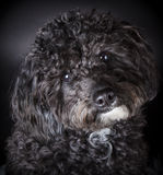 Labradoodle photographed in the studio.  Stock Photos