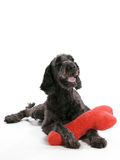 Labradoodle Pillow Stock Photos