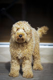Labradoodle on porch. Cute golden labradoodle sitting on porch Stock Images