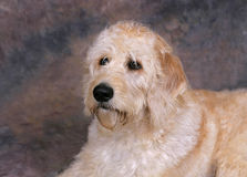 Labradoodle portrait. Portrait headshot of a labradoodle puppy Stock Photos