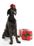 Labradoodle Present Royalty Free Stock Photos
