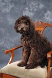 Labradoodle Puppy. Studio portrait of multi-generational Labradoodle puppy that is 5 months old Royalty Free Stock Photo