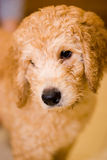 Labradoodle puppy. At 10 weeks of age Stock Photo