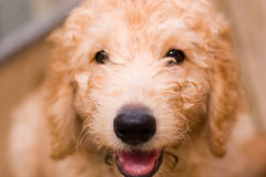 Labradoodle puppy. At 10 weeks of age Royalty Free Stock Photography