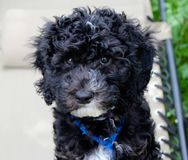 Labradoodle Puppy Stock Images