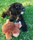 Labradoodle Puppy Stock Photos