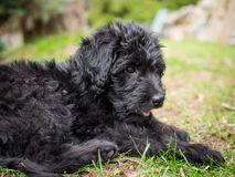 Labradoodle puppy Royalty Free Stock Photos