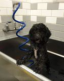 Labradoodle Puppy Gets a  Bath Stock Photography