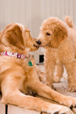 Labradoodle puppy and golden retriever royalty free stock photography