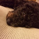 LabraDoodle Puppy resting Stock Image
