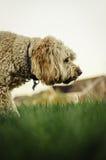 Labradoodle que busca a través de la hierba Fotos de archivo