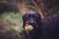 Labradoodle que guarda a bola Fotografia de Stock