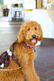 Labradoodle Ring Bearer au mariage Photo stock