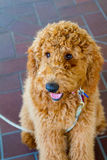 Labradoodle Ring Bearer at Wedding Royalty Free Stock Photography