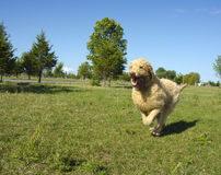 Labradoodle Running at the Park Royalty Free Stock Images