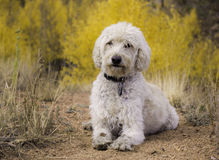 Labradoodle on Sheep Rock Trail Stock Images