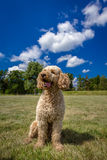 Labradoodle Royalty Free Stock Photography