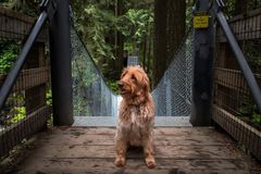 A Labradoodle sitting at the entrance to a suspension bridge in a forest. royalty free stock image