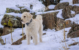 Labradoodle, Snow and Green Rocks. Teig hanging out in front of coloraful rocks on North Table Mountain near Golden Colorado after a snow storm Stock Photography